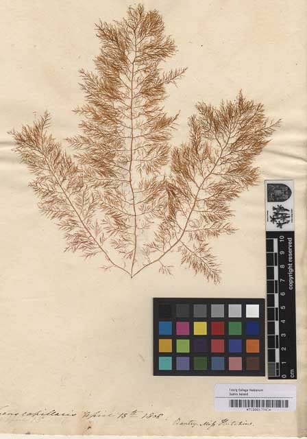 Fucus capillaris Collected April 18th 1808 in Bantry Bay. Image Courtesy of The Herbarium. Botany Dept. Trinity College Dublin.