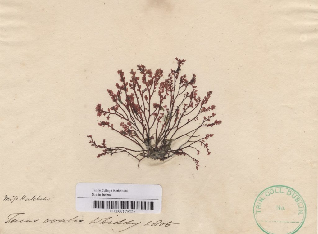 Fucus ovalis collected by Ellen on Whiddy Island, 1805. Image Courtesy of The Herbarium. Botany Dept. Trinity College Dublin.
