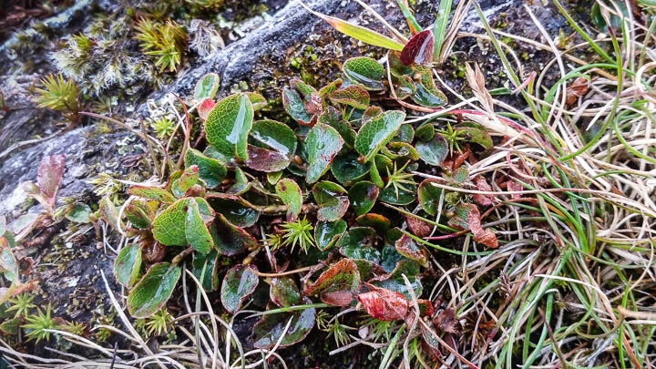 Dwarf Willow, on summit of Knock Boy